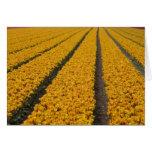 Campo del tulipán, los Países Bajos Tarjeta