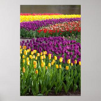 Campo del tulipán impresiones