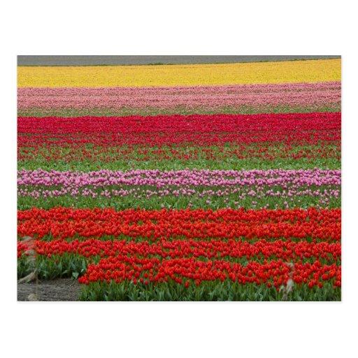 Campo del tulipán postales
