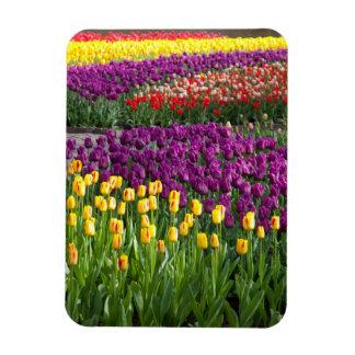 Campo del tulipán rectangle magnet