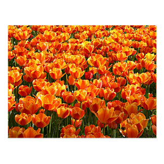 Campo del tulipán tarjeta postal
