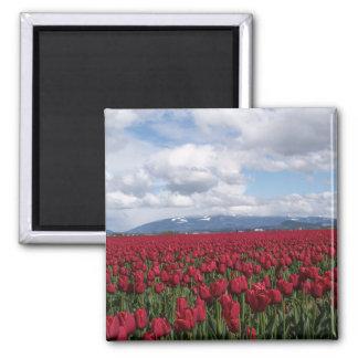 Campo rojo del tulipán imán cuadrado