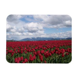 Campo rojo del tulipán imanes