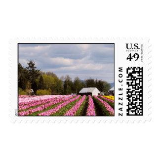 Campo rosado del tulipán envio