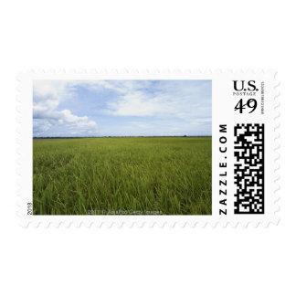 campos abiertos extensos del arroz estampillas