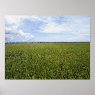 campos abiertos extensos del arroz póster
