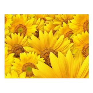 Campos amarillos del girasol tarjetas postales