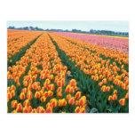 Campos anaranjados del tulipán, flores de Holanda Tarjetas Postales