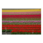 Campos de flor del tulipán poster