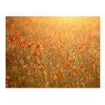 Campos de la amapola en la sol tarjetas postales