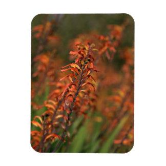 Campos del agavo anaranjado imanes