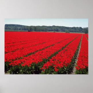 Campos del bulbo de flores holandesas póster
