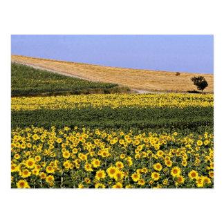 Campos del girasol, flores de Toscana, Italia Postales