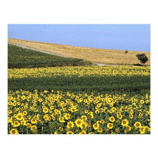 Campos del girasol, Toscana, Italia Tarjetas Informativas