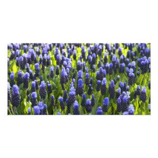 Campos del jacinto de uva tarjetas fotográficas personalizadas