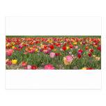 Campos del tulipán tarjetas postales