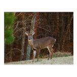 Camuflaje del roble de los ciervos del macho/del d tarjeta postal