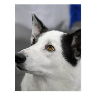 Canaan Dog Postcard