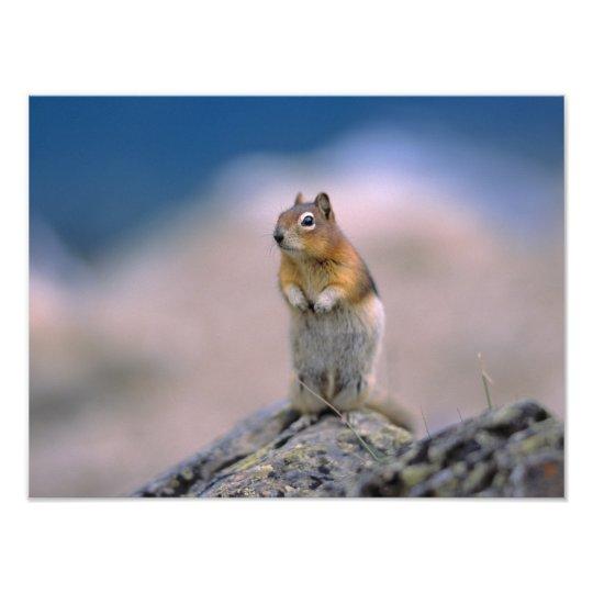 Canada, Alberta, Banff NP. A Golden-mantle Photo Print