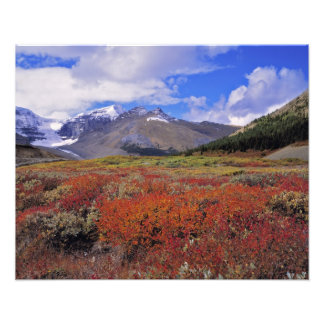 Canada, Alberta, Banff NP. Huckleberries bloom Photo Print