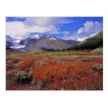 Canada, Alberta, Banff NP. Huckleberries bloom Postcard
