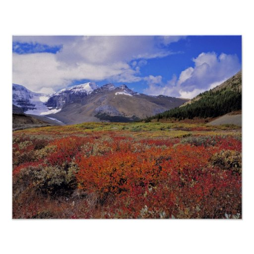 Canada, Alberta, Banff NP. Huckleberries bloom Poster