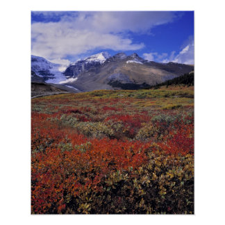 Canada, Alberta, Banff NP. Huckleberries provide Poster