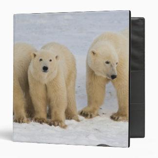 """Canadá, Bahía de Hudson. Madre del oso polar con Carpeta 1 1/2"""""""