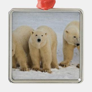 Canadá Bahía de Hudson Madre del oso polar con d Ornatos