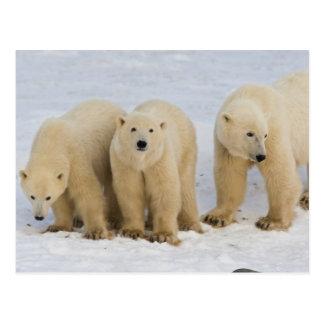 Canadá Bahía de Hudson Madre del oso polar con d Postales