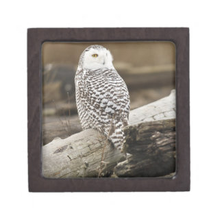 Canada, Boundary Bay, Snowy Owl Gift Box