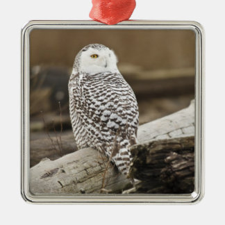 Canada, Boundary Bay, Snowy Owl Christmas Tree Ornament