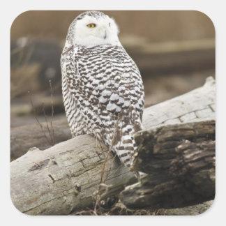 Canada, Boundary Bay, Snowy Owl Stickers