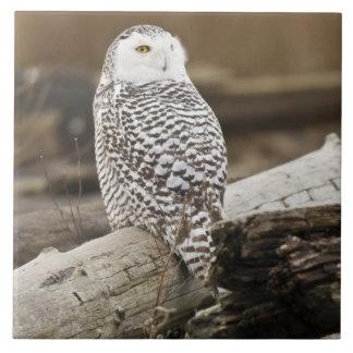 Canada, Boundary Bay, Snowy Owl Tiles