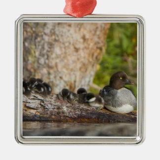 Canada, British Columbia,Common Goldeneye, Ornaments