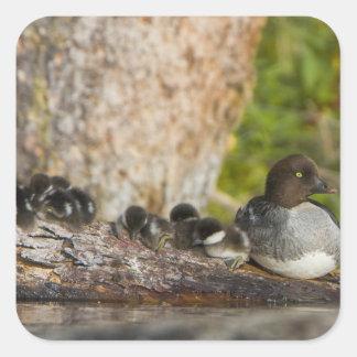 Canada, British Columbia,Common Goldeneye, Square Sticker