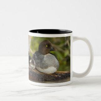 Canada, British Columbia,Common Goldeneye, Two-Tone Coffee Mug