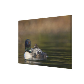 Canada, British Columbia,Common Loon, breeding 2 Canvas Print