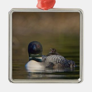 Canada, British Columbia,Common Loon, breeding 2 Ornaments