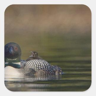 Canada, British Columbia,Common Loon, breeding 2 Square Sticker