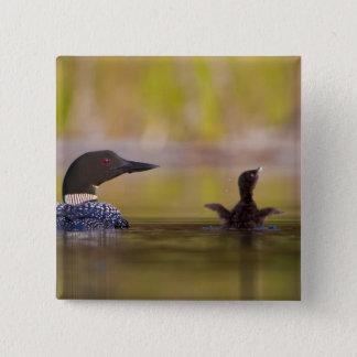 Canada, British Columbia,Common Loon, breeding 3 Button