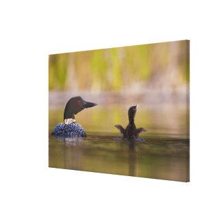 Canada, British Columbia,Common Loon, breeding 3 Gallery Wrap Canvas