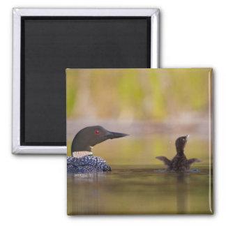 Canada, British Columbia,Common Loon, breeding 3 Magnet