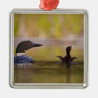 Canada, British Columbia,Common Loon, breeding 3 Ornament