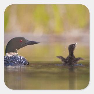 Canada, British Columbia,Common Loon, breeding 3 Square Sticker