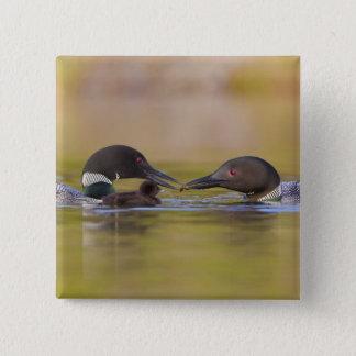 Canada, British Columbia,Common Loon, breeding Button
