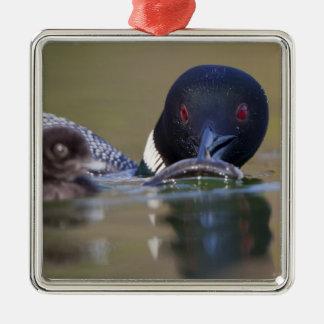Canada, British Columbia,Common Loon, breeding Ornaments