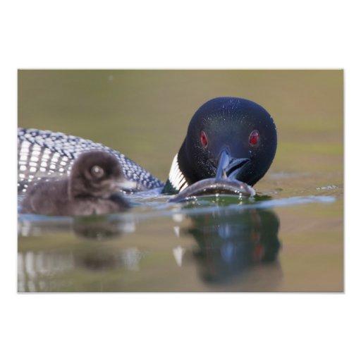 Canada, British Columbia,Common Loon, breeding Art Photo