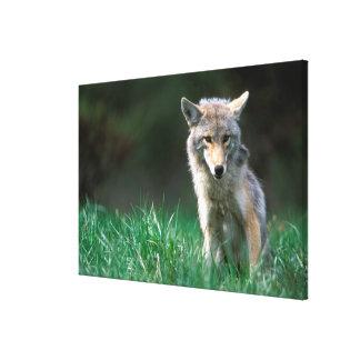 Canada, British Columbia, Coyote (Canis latrans) Canvas Print