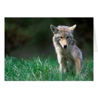 Canada, British Columbia, Coyote (Canis latrans) Card